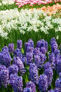 Hyacinth flowerbeds Stock Photos