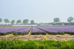 Dutch spring hyacinth flowers field Stock Photos