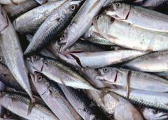 Oily fish freshly caught fish from vessels at sea Stock Photos