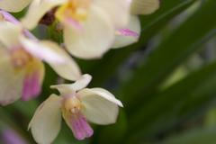 white orchids(vanda) - stock photo