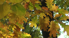 Foliage, autumn, oak leaves, fall season, landscape Stock Footage