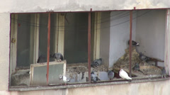Pigeon dirt, abandoned house, doves, flying birds, flock of pigeons - stock footage