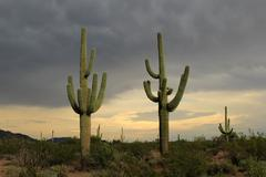 Saguaro Cactus before storm Stock Photos