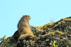 Olympic Marmot surveys the land Stock Photos