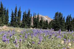 Mt. Lassen wildflowers Stock Photos