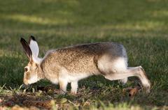Wild Rabbit On High Alert Stock Photos