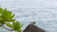 Stock Video Footage of Aruba lizard on the seaside