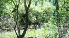Lovely panda bear eat spring green bamboos in nature Stock Footage