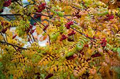 multicolored paint autumn rowan - stock photo