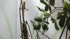 Two grasshopper, one small and one big,  stay on bush twig Stock Footage