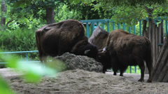 Big bison feeding to green spring zoo park Stock Footage