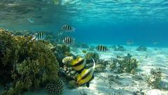 Red sea bannerfishes Stock Footage