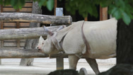 Stock Video Footage of Big rhinoceros walk in zoo yard