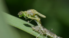 Damselfly  (Coenagrion puella) metamorfosis,  zigoptera Stock Footage