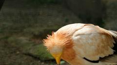 Free Egyptian vulture walk Stock Footage