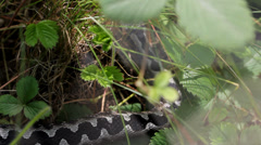 Dangerous snake in the grass moves very slowly Stock Footage
