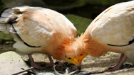 Stock Video Footage of Two Egyptian vultures nibble, hungry vultures