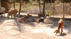 Sheepfold Stock Footage