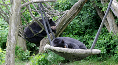 Two Asian black bears rest in trees Stock Footage