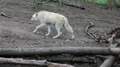 White wolf go away in the wood Stock Footage