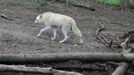 Stock Video Footage of White wolf go away in the wood