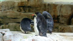 Three penguins, Northern Rockhopper Penguin - Eudyptes moseleyi Stock Footage