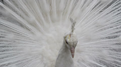 Beauty expression, white peacock with open plumage - stock footage