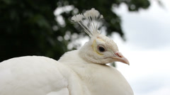 White peacock head cheep Stock Footage