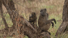 Baboon sitting in a tree with it's baby Stock Footage