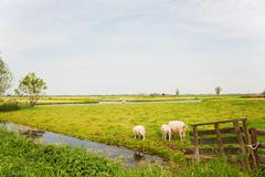 Stock Photo of sheep in dutch landscape