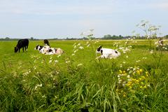 Stock Photo of typical dutch cows in landscape