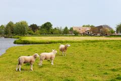 Stock Photo of dutch landscape with sheep