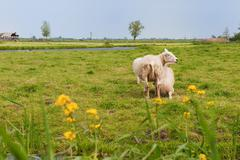 dutch landscape with sheep - stock photo