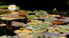 Water lily flower and bud among red leaves on waterduring autumn Stock Footage