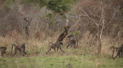 Baboons walking across the screen Stock Footage