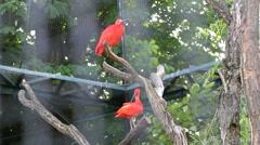 Flock of Scarlet Ibis pink tropical birds in trees Stock Footage