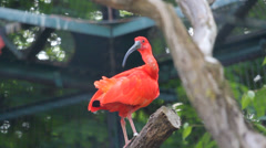 Scarlet Ibis red exotic bird rest on a tree trunk Stock Footage