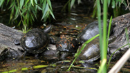 Stock Video Footage of Little turtles on tree trunk near water, one turtle sink  in water