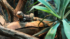 Little iguana lizard stay on tree trunk in a terrarium and look at the camera Stock Footage