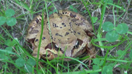 Stock Video Footage of Agile frog in the grass, Rana Dalmatina, forest frog