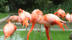 Many colored flamingo birds drink water in a zoo park Stock Footage