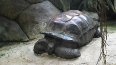 Giant Galapagos tortoise resting near a cliff Stock Footage