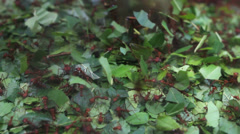 Natural cooperation, ant hill, diligent ants moving caring green leaf - stock footage