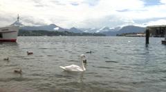 Swans on the Lake Lucerne (Vierwaldstättersee) Switzerland Stock Footage