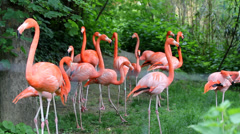 Colored flamingoes moves together in a green zoo park Stock Footage