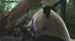 Sweet panda bear eat a bamboos plant  Stock Footage