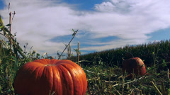 Timelapse: Pumpkins with corn field Stock Footage