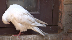 White Pigeon close - stock footage