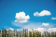 Pine tree with blue sky Stock Photos