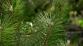 green fir tree Footage